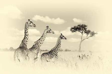 herbivores: Group giraffe in National park of Kenya, Africa. Vintage effect Stock Photo