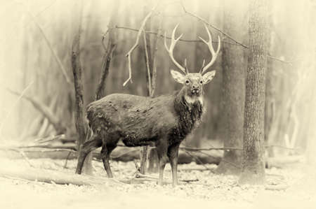 dank: Close whitetail buck deerstag in forest. Vintage effect