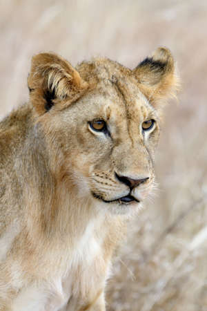 African lion in  South Africa