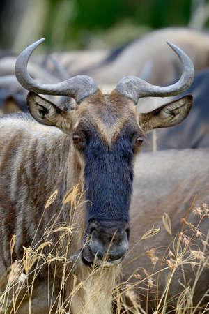 Wildebeest in savannah,  Africa