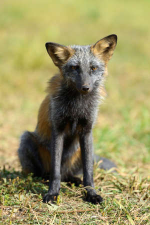 silver fox: Silver Fox, an subspecies of the Red Fox