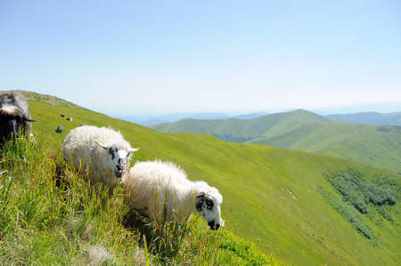 flock of sheep: Flock sheep on a summer field in mountain