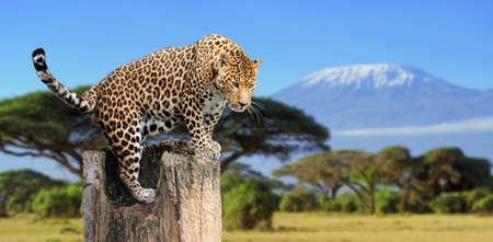 yellow teeth: Leopard sitting on a tree on a background of Mount Kilimanjaro