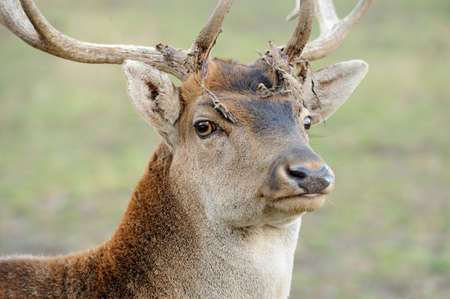 cervus: Close Deer in the natural environment in the autumn