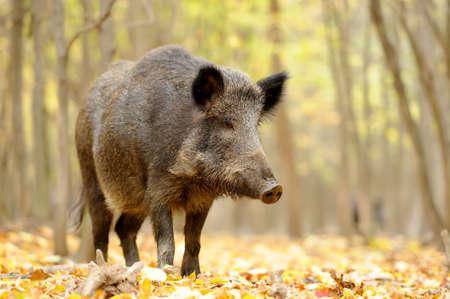 가을 숲에서 야생 젊은 멧돼지를 닫습니다.