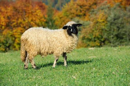 flock of sheep: Flock sheep on a autumn field Stock Photo