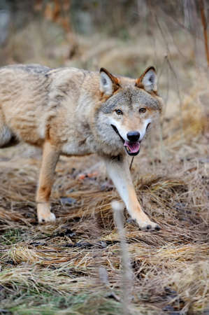 Grey wild wolf (Canis lupus) in forest