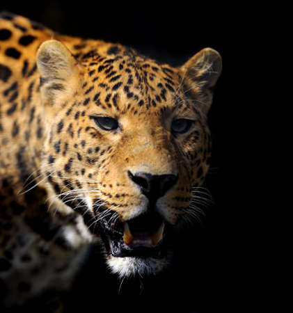 catlike: Close angry partrait leopard on dark background