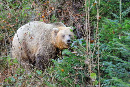 Big brown bear (Ursus arctos) in the environment
