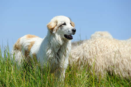 sheepdog: Sheepdog guarding a flock of sheep herd