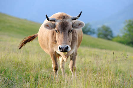 beast ranch: Cows on a summer meadow in mountains Stock Photo