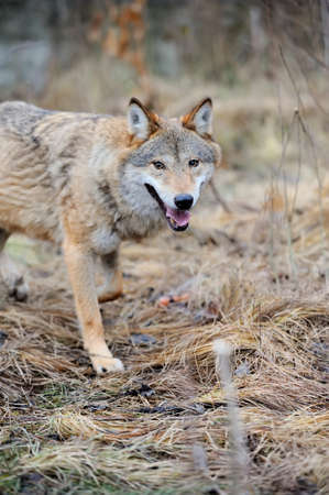 lupus: Grey wild wolf (Canis lupus) in forest