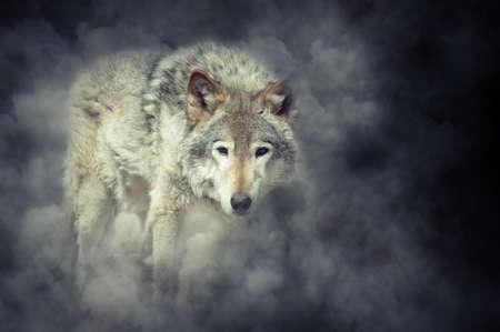 Wild grey wolf in smoke on dark background