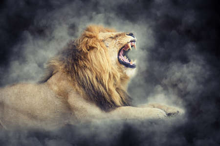 Close male lion in smoke on dark background 写真素材