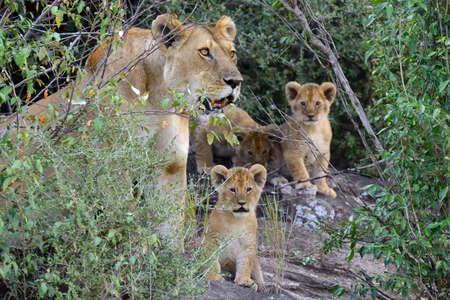 the national flag of kenya: Cachorro de león africano (Panthera leo), el Parque Nacional de Kenia, África Foto de archivo