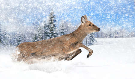 cola mujer: Cerrar ciervos jóvenes en la naturaleza. Tiempo de invierno Foto de archivo