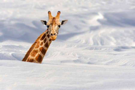 Giraffe buried in snow Stok Fotoğraf - 69999916