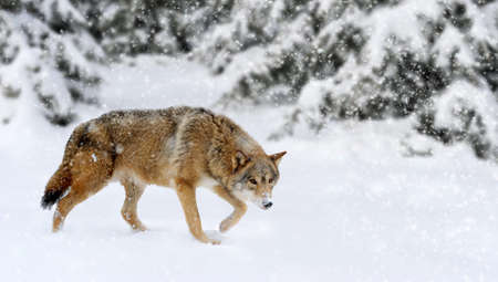 canis: Wild wolf in nature. Winter time