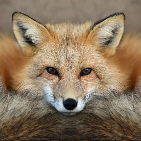 Close red fox (Vulpes vulpes) portrait Standard-Bild