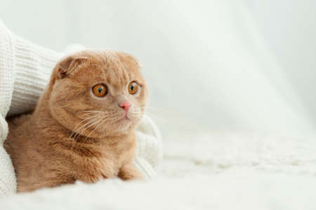 Close-up fluffy ginger cat comfortably settled on bed Stock Photo