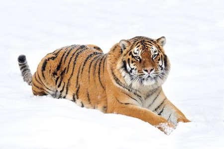 Beautiful wild siberian tiger on snow Stock Photo