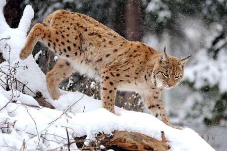 겨울의 아름다운 야생 스라소니