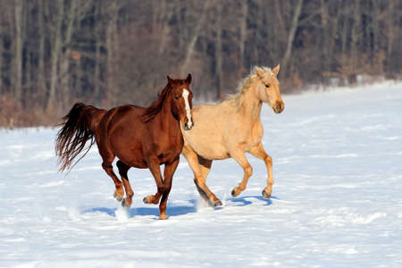 Horse runs gallop on the winter field