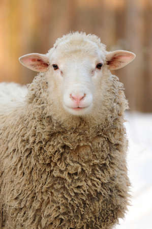 Young sheep in winter day