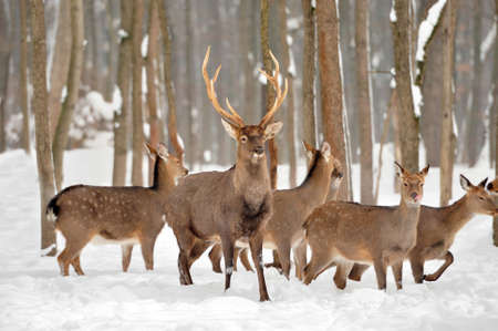 whitetailed: Young deer in winter forest