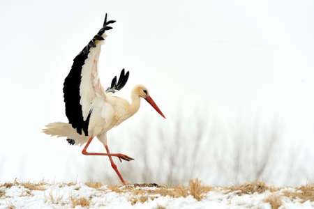 ciconiiformes: Beautiful stork at the winter park outdoors