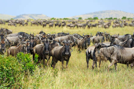 Wildebeest in savannah,  Kenya, Africa