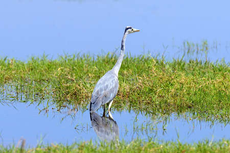 Close-up gray heron in a grass on river coast Reklamní fotografie - 71379396