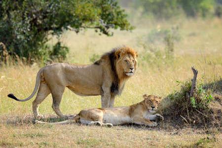 adult kenya: Close lion in  Kenya, Africa Stock Photo