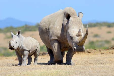 African white rhino in Kenya