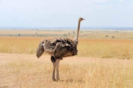 struthio camelus: Female of African ostrich (Struthio camelus) in   Kenya Stock Photo