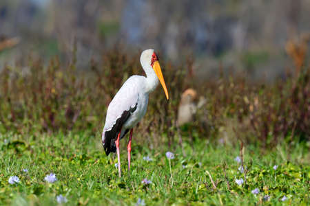 African yellow-billed stork in   Kenya, Africa Stock Photo
