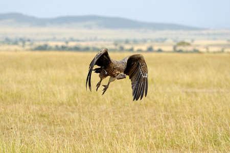 Vulture flying. Kenya