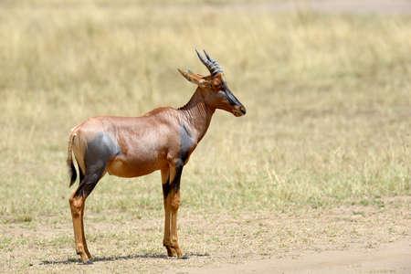 elongated: Topi Antelope (Damaliscus lunatus) in Kenya