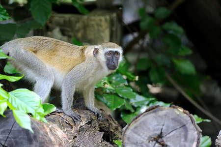 Close vervet monkey in  Kenya, Africa