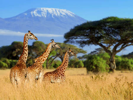 Three giraffe on Kilimanjaro mount background in   Kenya, Africa 免版税图像