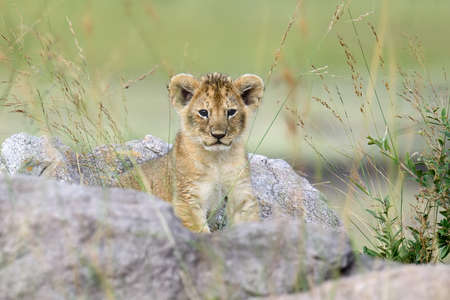 African lion cub in  Kenya, Africa Stock Photo - 75154400