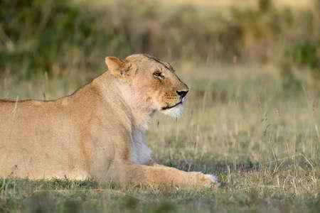 Close lion in  Kenya, Africa Stock Photo