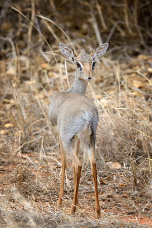 tanzania antelope: Dik-dik in Africa, Kenya Stock Photo