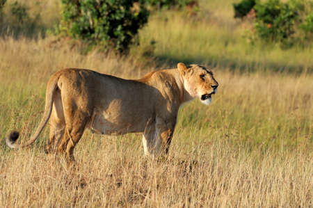 Close lion in Kenya, Africa