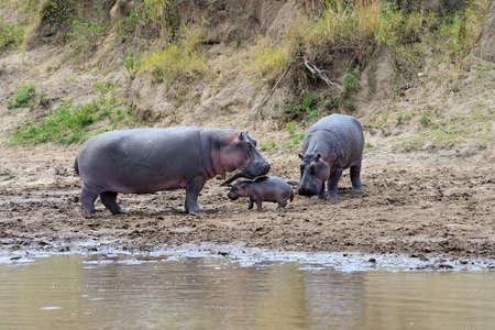 Hippo family (Hippopotamus amphibius) outside the water, Africa Фото со стока