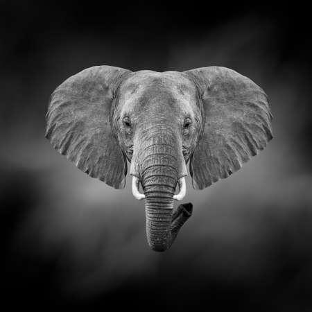 Dramatic black and white image of a elephant on black background