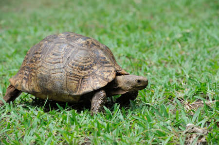 African Spurred Tortoise (Geochelone sulcata) in the grass