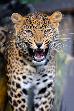Close up young leopard in nature Stock Photo