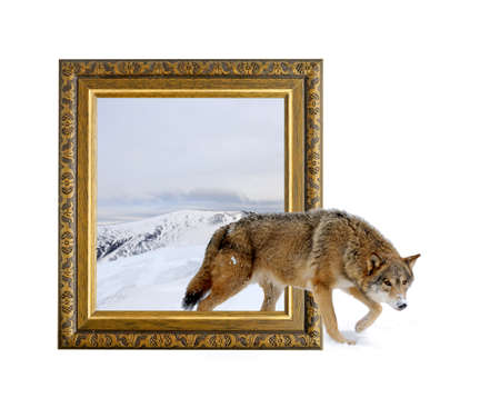 Wolf in old wooden frame with 3d effect