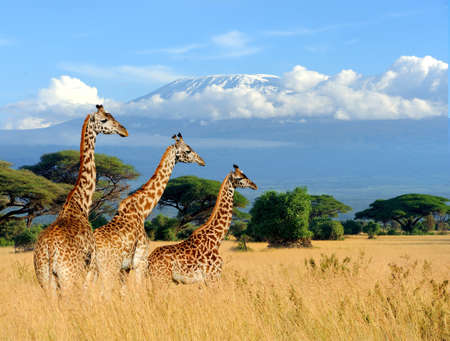 Three giraffe on Kilimanjaro mount background in  Kenya, Africa Stok Fotoğraf